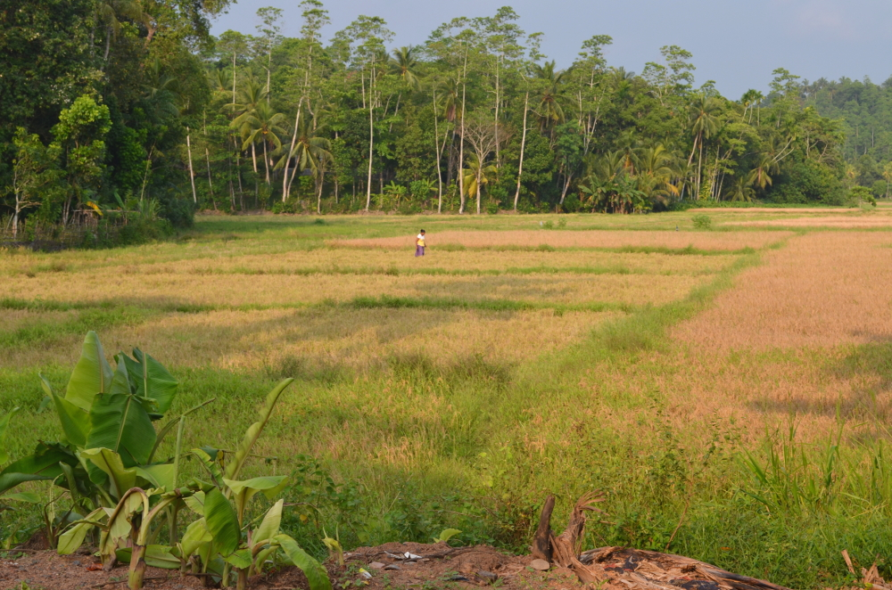 Sri Lanka reisfelder