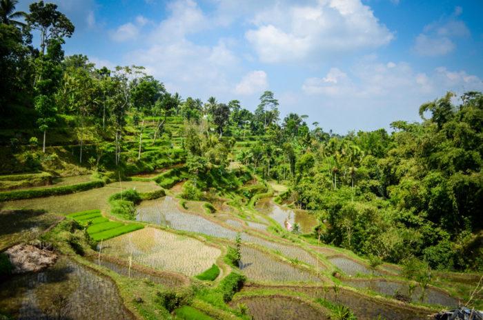 Tetebatu Reisfelder