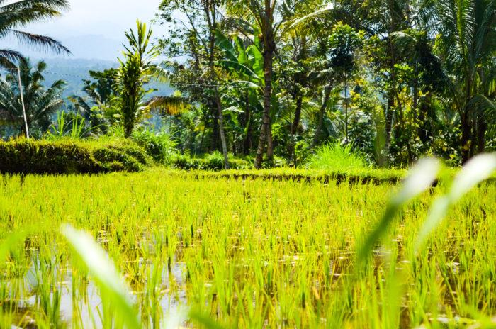 Reisfelder Tetebatu